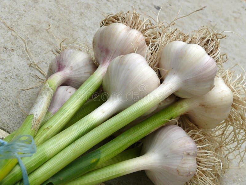 Garlic. Fresh green garlic after ingathering royalty free stock photos