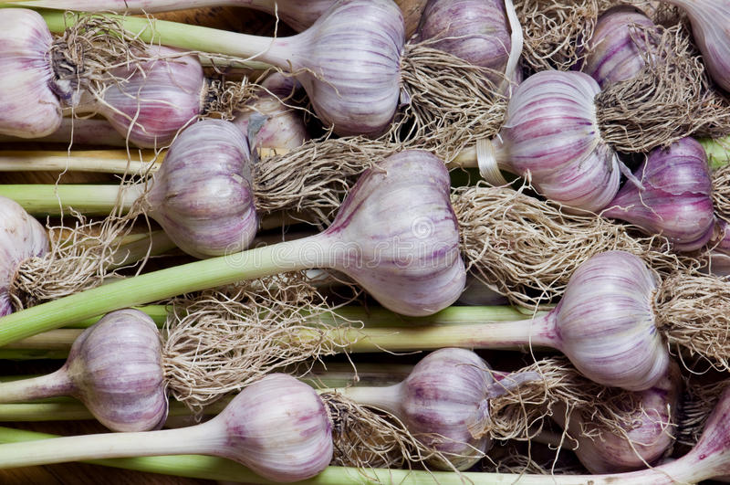 Garlic. Heap of garlic close up stock images