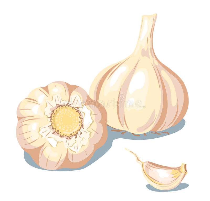 Garlic. royalty free illustration