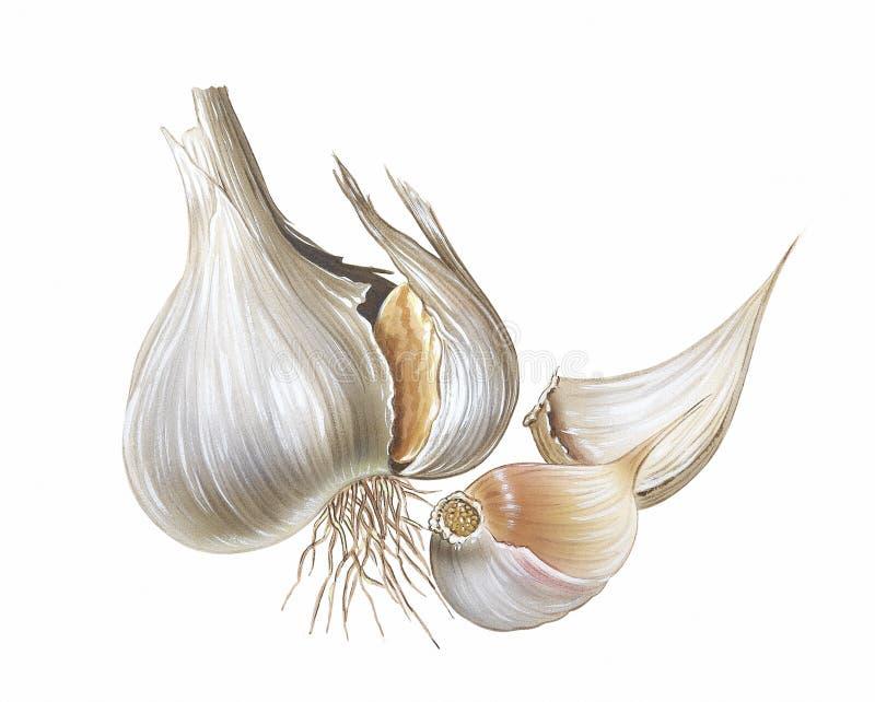 Download Garlic Royalty Free Stock Photography - Image: 24505887