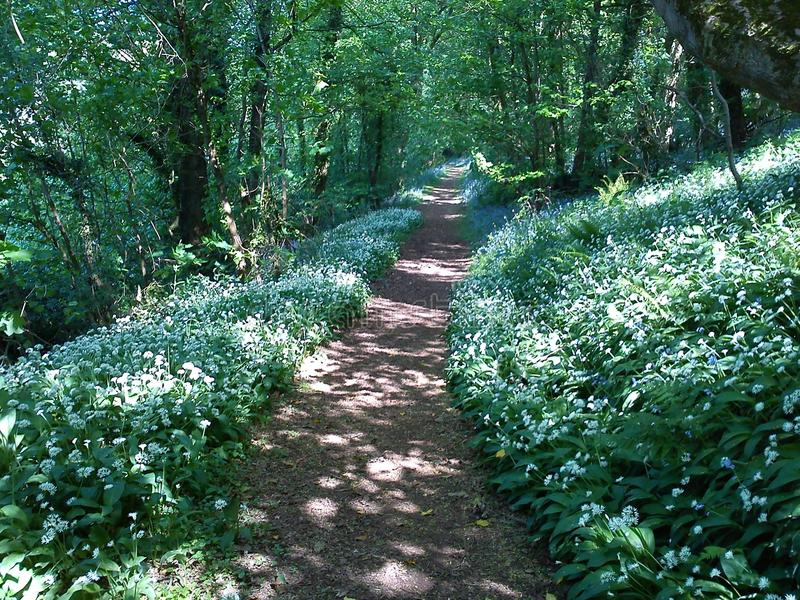 Garlic Bluebell Walk in Spring, Stoke Woods, Devon. Footpath in Stoke Woods, Exeter, Devon with garlic and bluebells in flower. A lovely Springtime woodland walk royalty free stock photography