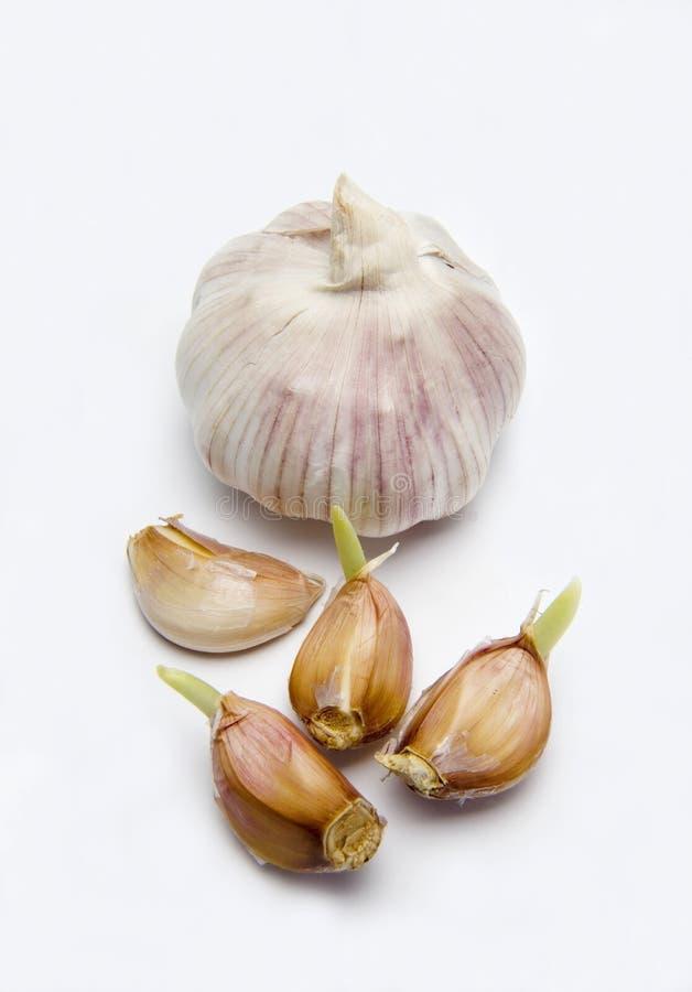 Garlic bulb with garlic cloves royalty free stock photography