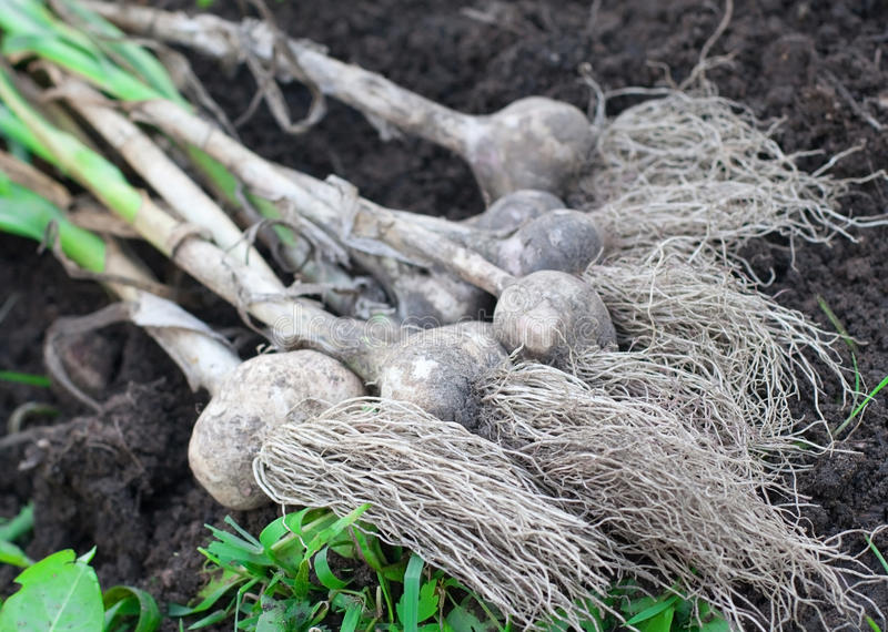 Download Garlic bulbs stock photo. Image of garlic, bulbs, above - 11589032