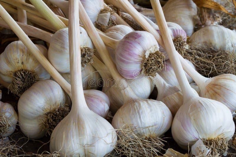 Garlic Bulbs, Allium stock images