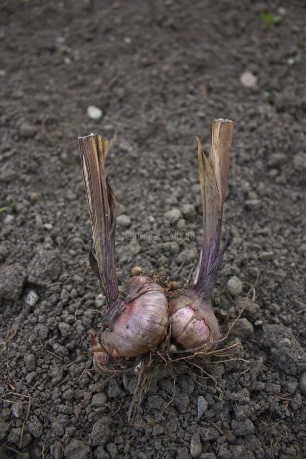 Garlic bulbs(Allium sativum) royalty free stock photo