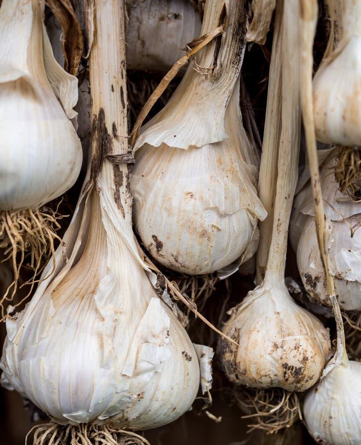 Download Garlic bulbs drying stock image. Image of food, garlic - 26149863