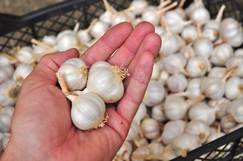 Garlic bulbs stock photos