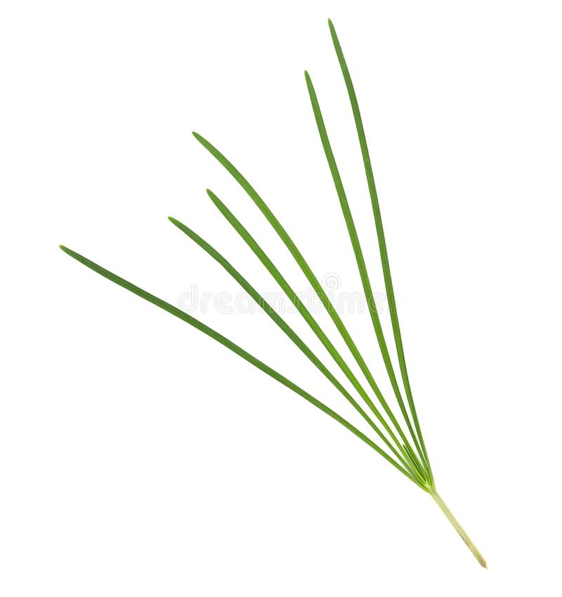 Garlic chive isolated on white background,top view. Garlic chive isolated on white background ,top view stock photography