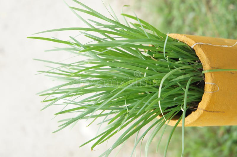 Garlic chives. In the tube royalty free stock photos