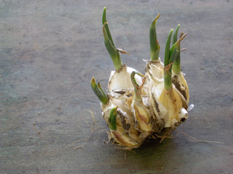Download Garlic Clove Sprout stock photo. Image of homegrown, dirt - 247102