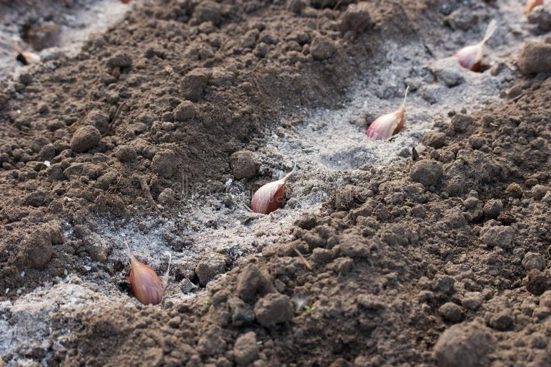 Garlic cloves in the furrow with ash. Autumn planting plants stock images