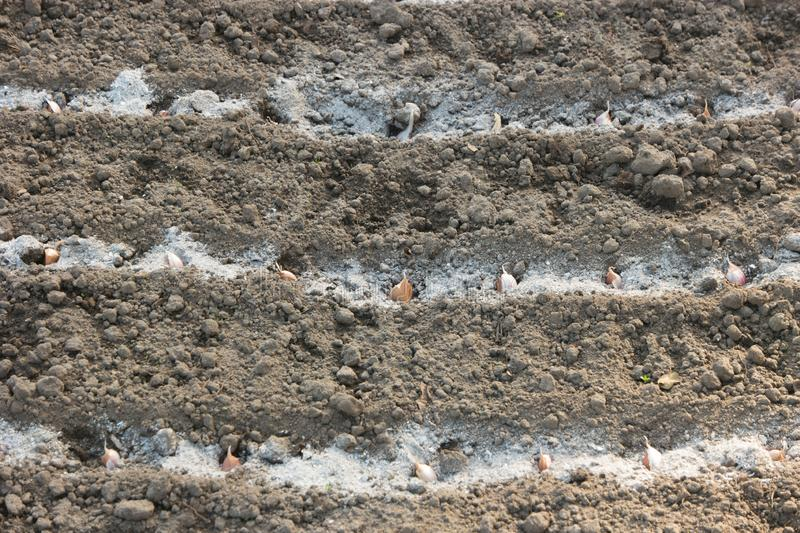 Garlic cloves in the furrow with ash. horizontal lines. Garlic cloves in the furrow with ash. several horizontal lines royalty free stock images