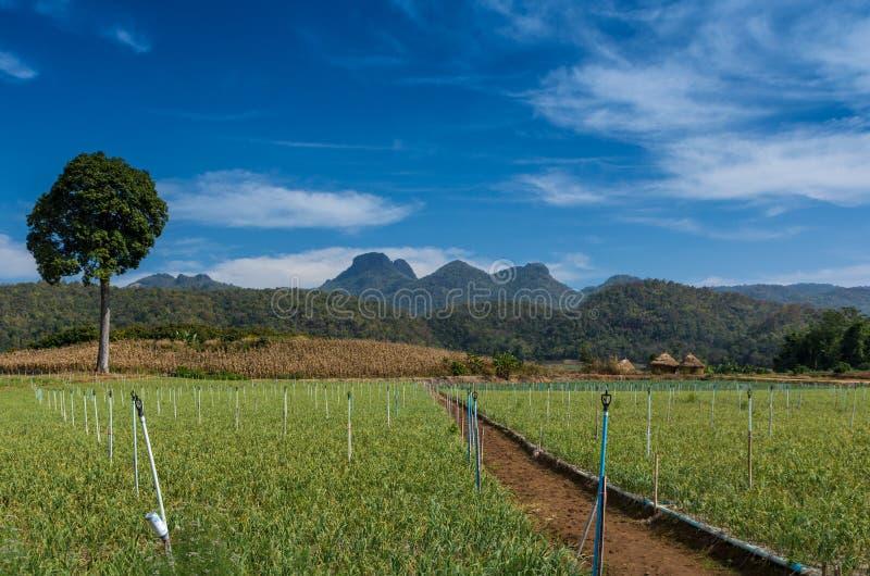 Garlic farm stock images