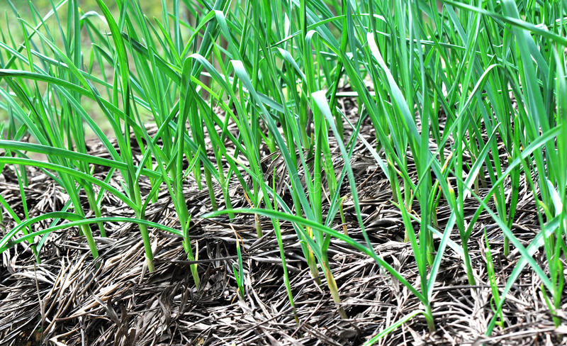 Garlic field royalty free stock photography