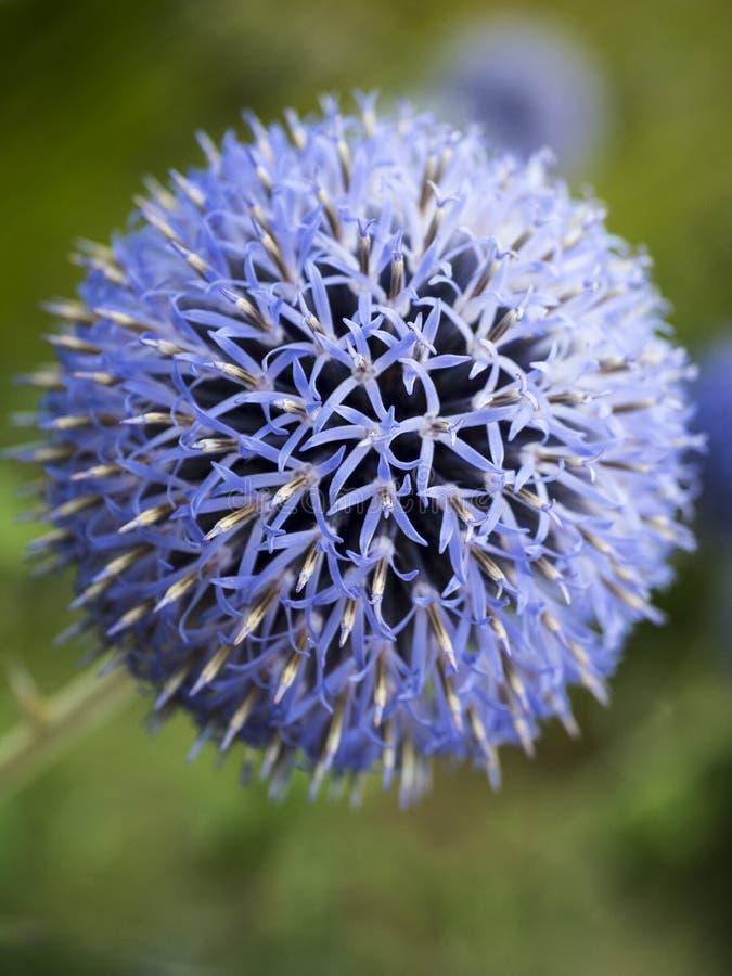Garlic flower stock photos