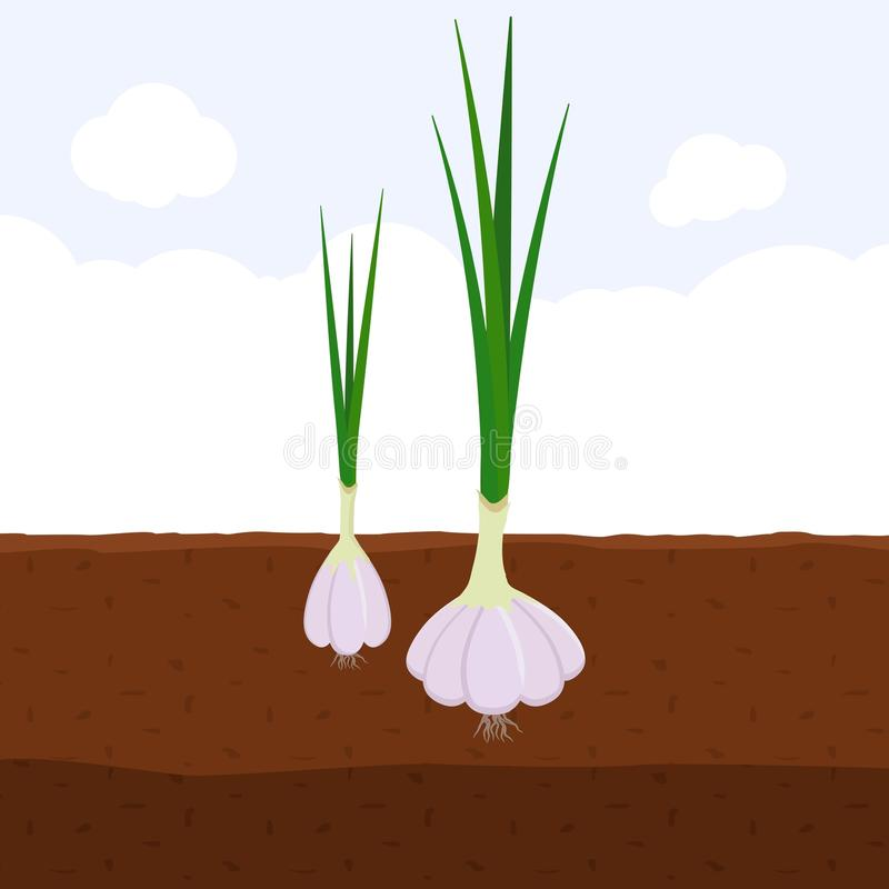 Garlic with green sprout on top in soil, Fresh organic vegetable garden plant growing underground, Cartoon flat vector stock illustration