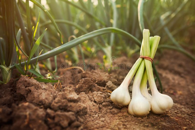 Garlic on the ground stock images