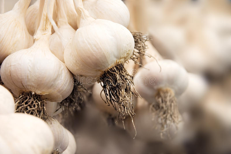 Garlic harvest. Cluster of fresh white garlic in closeup with abstract blur-ed background royalty free stock photography