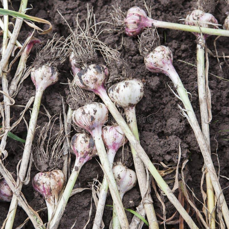 Garlic. Heads of garlic on the ground stock photos