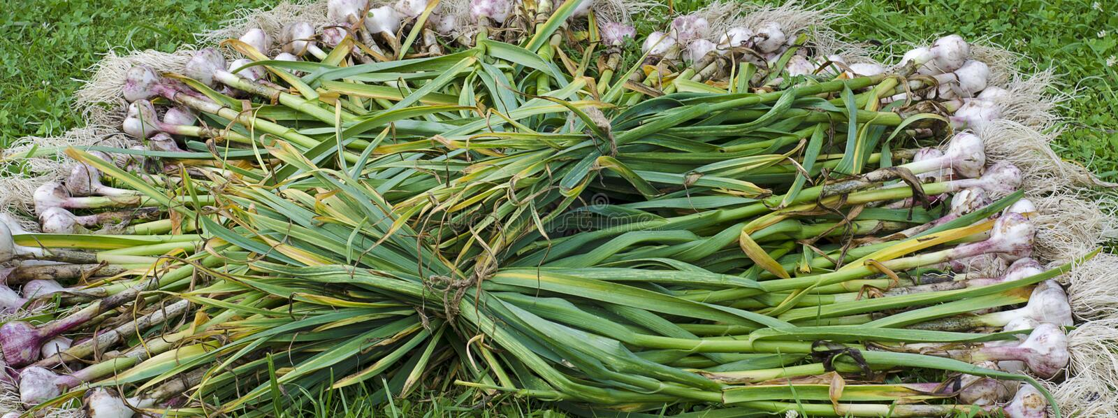 Garlic herb stock fan. The image of the harvested vegetable is the stem and root of garlic in large quantity I try on fresh air in autumn stock images