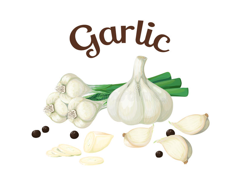 garlic Ilustração do vetor feita em um estilo realístico fotografia de stock