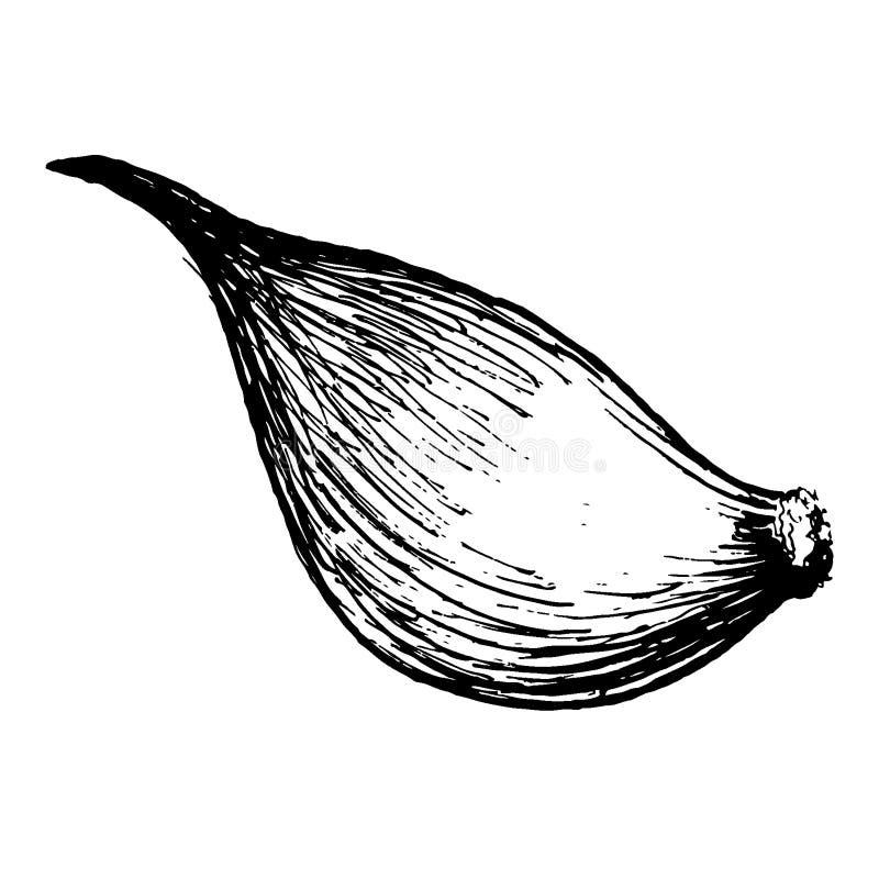 garlic Ilustração Hand-drawn convertida aos vetores Colorir pastel do efeito As cores estão prontas para mudar ilustração stock