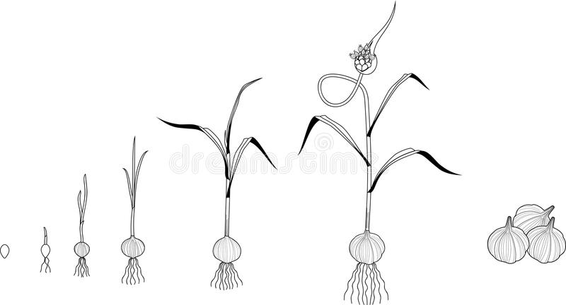 garlic life cycle coloring page consecutive stages growth bulbil to adult flowering plant