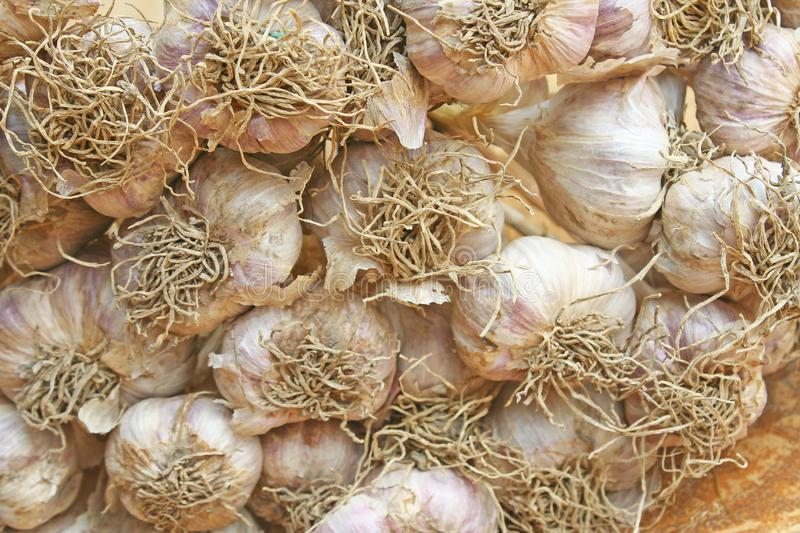 Garlic plant groups. Close up Garlic plant groups royalty free stock images