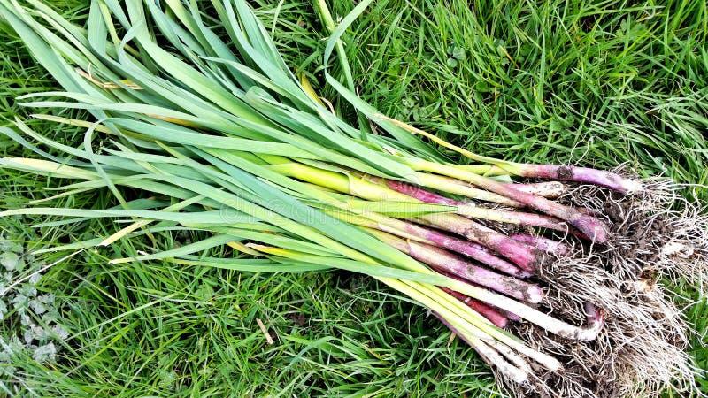 Garlic plants stock photography