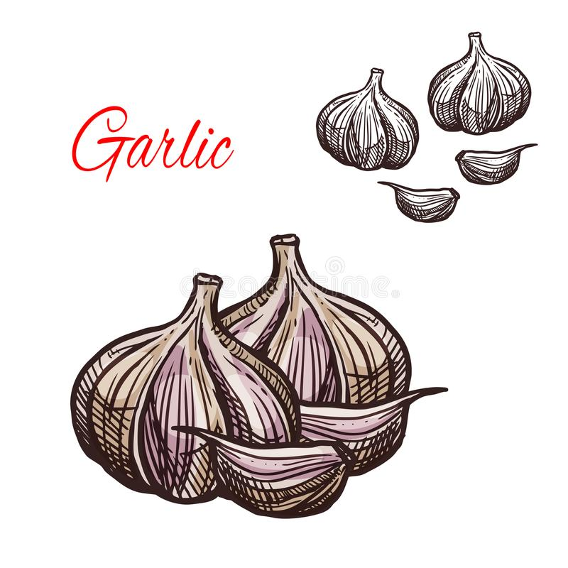 Garlic seasoning vector sketch plant icon. Garlic seasoning spice herb sketch icon. Vector isolated garlic bulb vegetable plant for culinary cuisine cooking or vector illustration