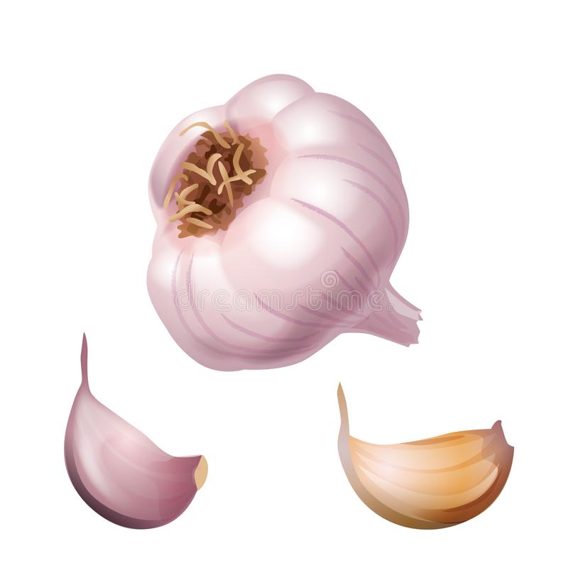 Garlic. Whole head of the garlic and two cloves royalty free illustration