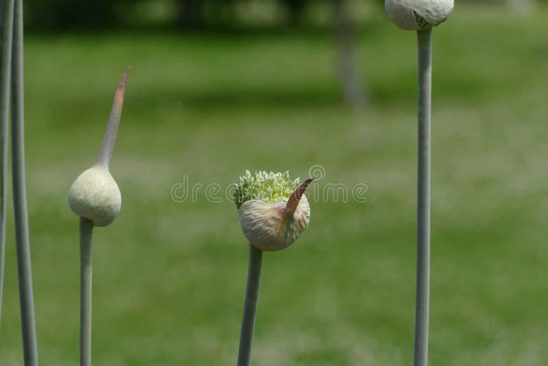 Garlic young flower bud. Nice garlic young flower bud royalty free stock photos