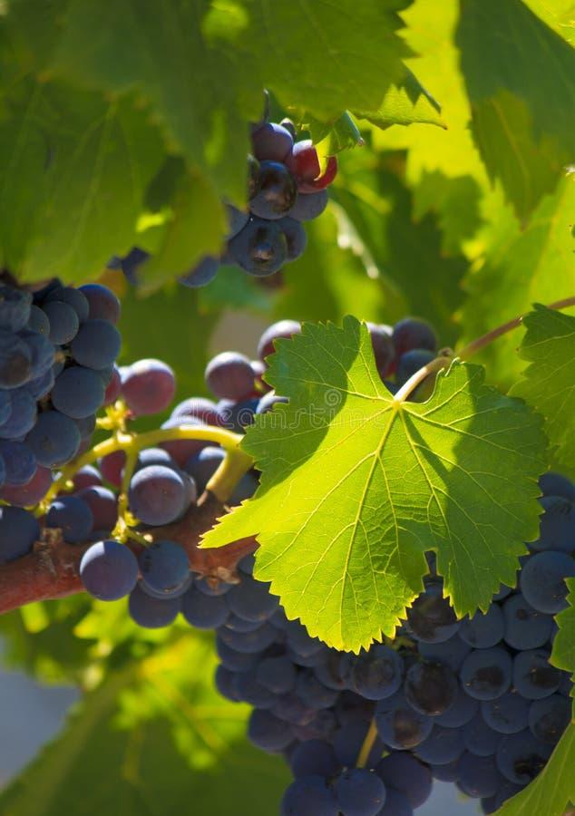 Garnacha Vines stock image