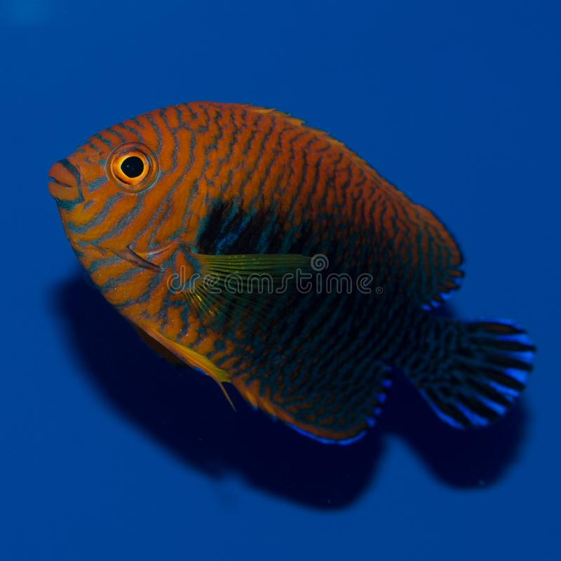 Garncarki ` s Angelfish obraz royalty free