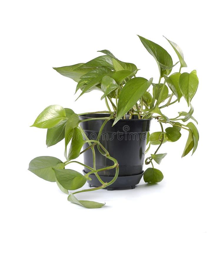 garnek roślinnych zdjęcie royalty free