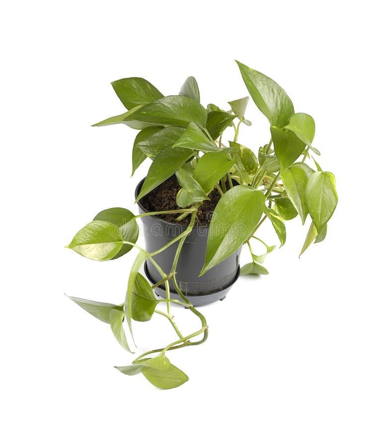 garnek roślinnych fotografia royalty free