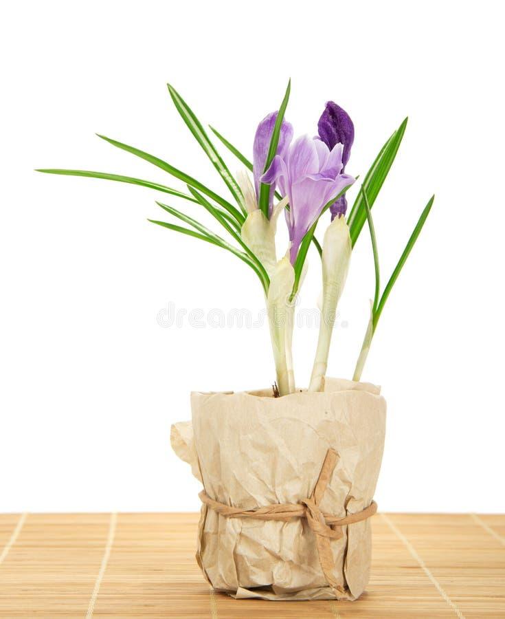 Download Garnek Z Krokusami Na Bambusowym Płótnie Zdjęcie Stock - Obraz złożonej z botanika, piękny: 41954282