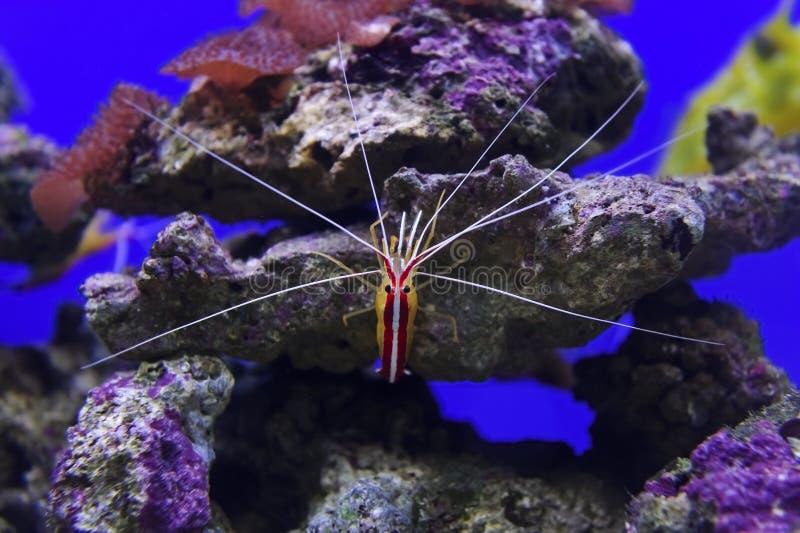 Garnela na kamienny podwodnym zdjęcia royalty free