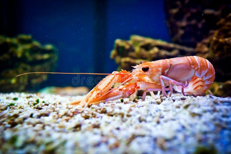 Garnele im Aquarium stockfotografie