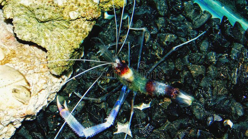 Garnelenboxer im Aquarium in Thailand stockfotografie