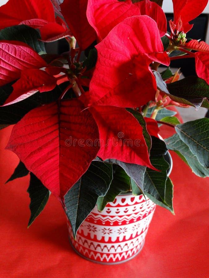 Garnering för beröm för juljulstjärnaväxt arkivbild