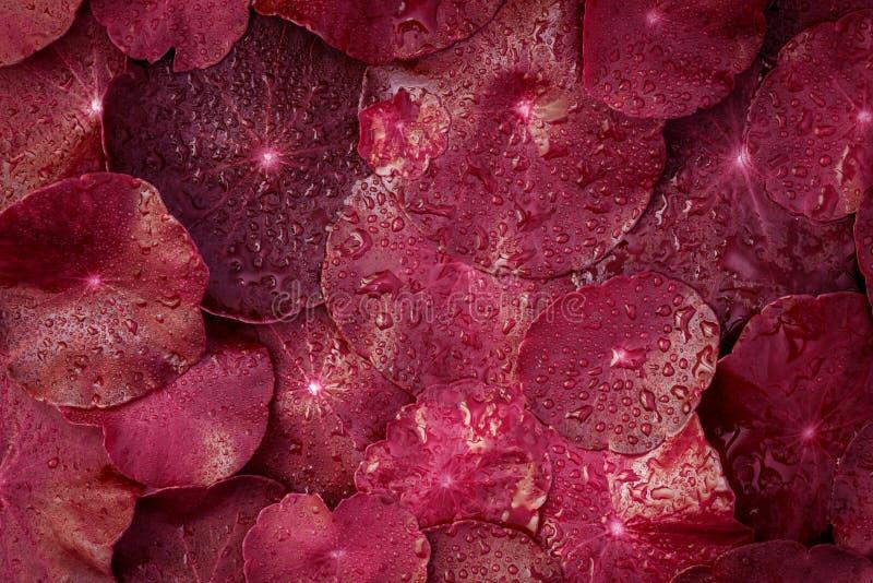 Garnering för blad för övre cirkel för slut röd med vattenregndroppe som royaltyfria foton