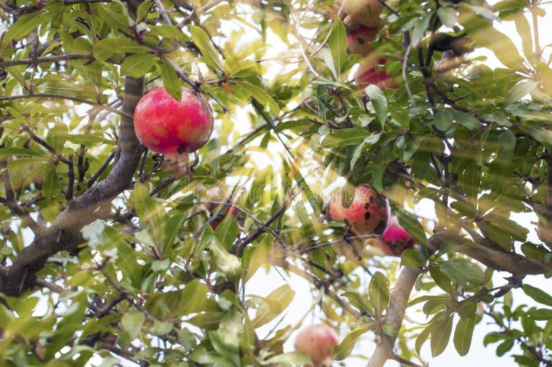 Garnet-träd i solljus arkivfoton