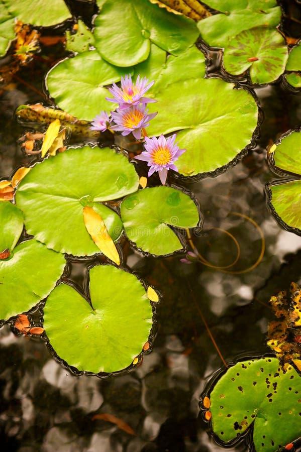Garnitures et fleur de Lilly dans l'étang photographie stock