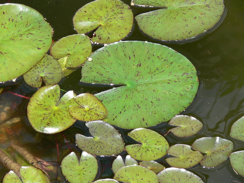 Garnitures vertes de Lilly dans l'eau image stock