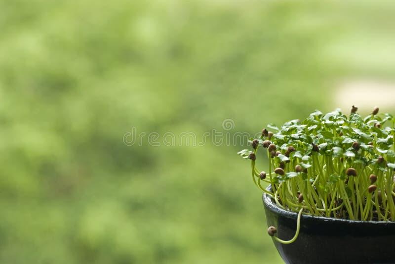 garnka narastający ziarno zdjęcie royalty free