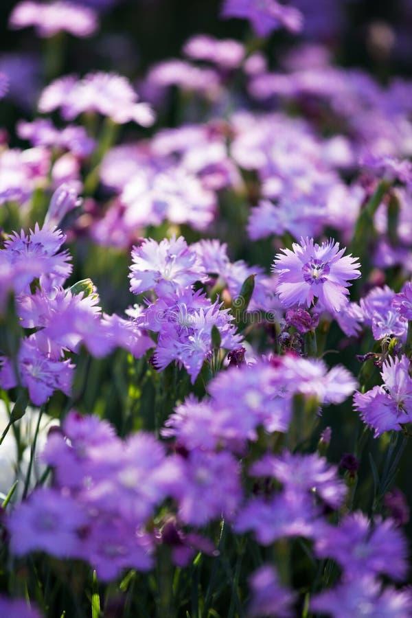 Garofani blu del campo fotografia stock