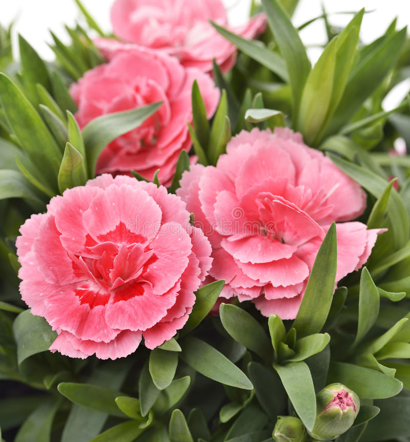 Garofani rosa fotografie stock libere da diritti