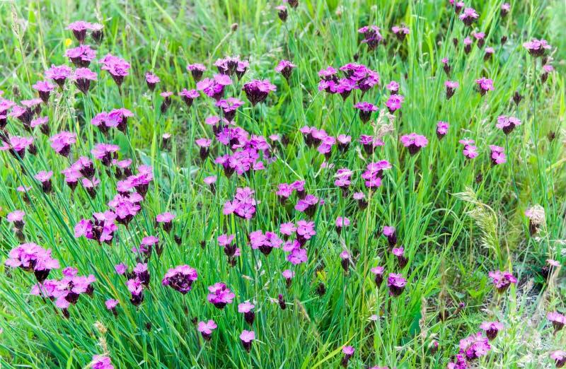 Garofani selvaggi rosa sui campi intatti di Transylvanian ad estate fotografia stock