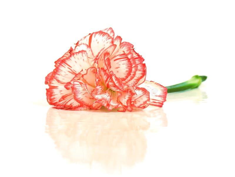Garofano bianco con frangia rossa fotografie stock libere da diritti